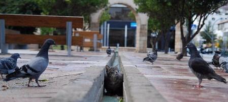 Cat_pigeons